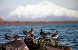 rocha, maçarico, pássaros, calidris ptilocnemis