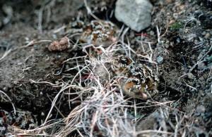 roche, bécasseau, poussin, nid, Calidris, ptilocnemis