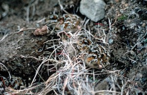 rock, sandpiper, chick, nest, calidris ptilocnemis