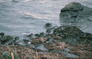 rock, sandpiper, young, shick, grass, nest, calidris ptilocnemis