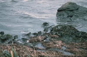 rock, sandpipers, birds, shoreline, calidris, ptilocnemis