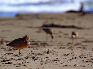 homok, piper, madár