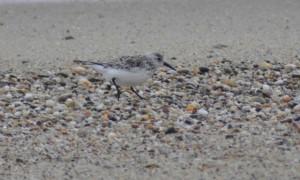 sanderling, bird, ground, calidris, alba