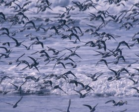 sanderling, birds, flock, chasing, receding, waves, ocean, beaches
