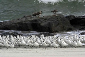 sanderlings, ruddy, turnstones, beach, calidris, alba, arenaria, interpres