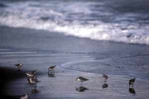 sanderlings, shoreline