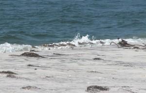 sanderlings, птици, calidris, Алба, бряг