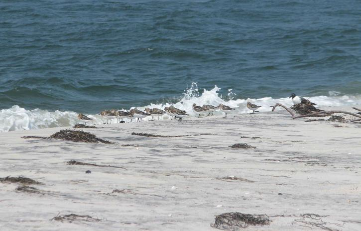 sanderlings, birds, calidris, alba, shore
