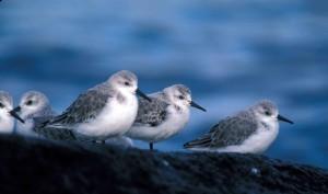 sanderlings, birds, calidris, alba, breeding, plumage