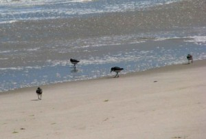 sanderlings, beach, monomoy, wilderness, refuge