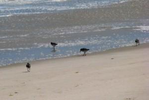 sanderling, plage, monomoy, désert, refuge