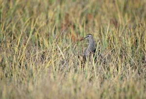 брегобегач, птици, постоянни, високи, трева, calidris melanotos