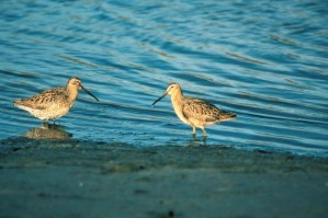 short billed, dowitcher, birds, pair, limnodromus griseus