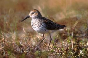 western, sandpiper, bird, grass, shore, calidris, mauri