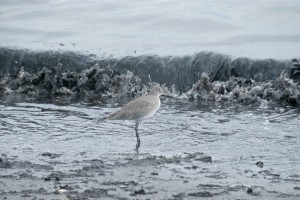 willet, froid, eau, rivage, ctrophorus, semipalmatus
