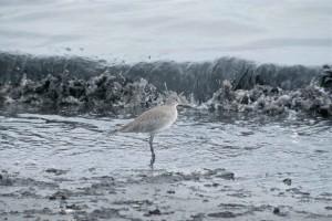 Willet, koude, water, kust, ctrophorus semipalmatus