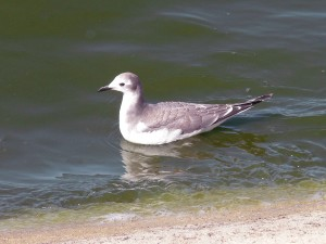 juvenile, bird, gull, swims, water, lake