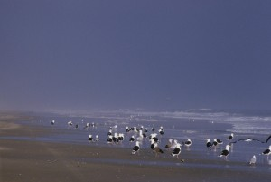 black, backed, gulls, shoreline