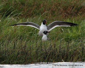 black, headed, gulls, wetland