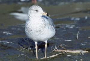 california, gull, larus californicus