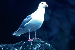 glacous, winged, gull, rock