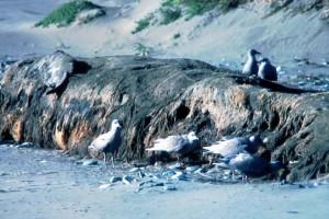 glacous, winged, gulls, birds, coast