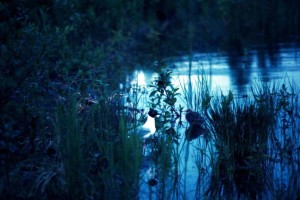 glacous, winged, gulls, swamp, water, dusk