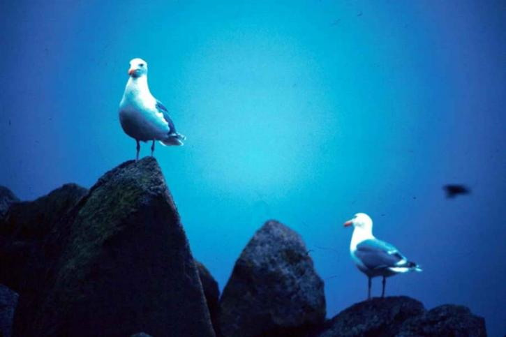 glacous, winged, gulls, rocks