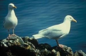 glaucous, gulls, birds, larus hyperboreus