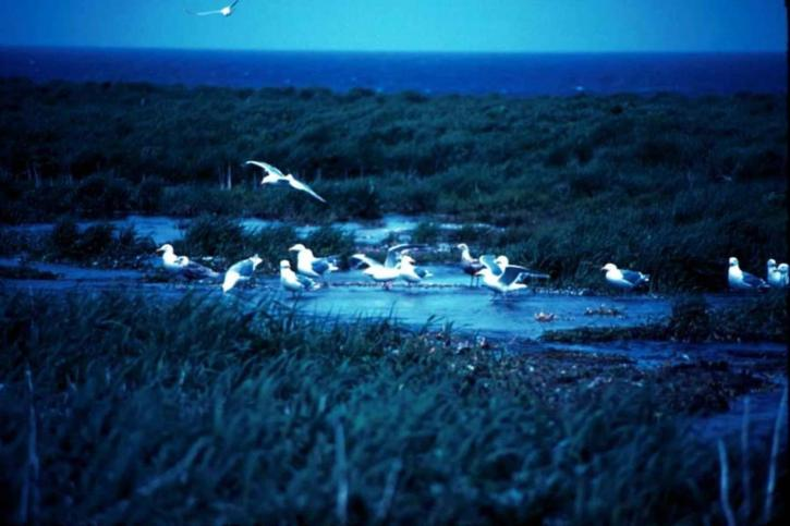 glaucous, winged, gulls, beach, pool