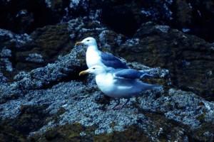 glaucous, winged, gulls, rocks, birds