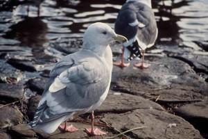larus glaucescens, glaucous, winged, gull, bird