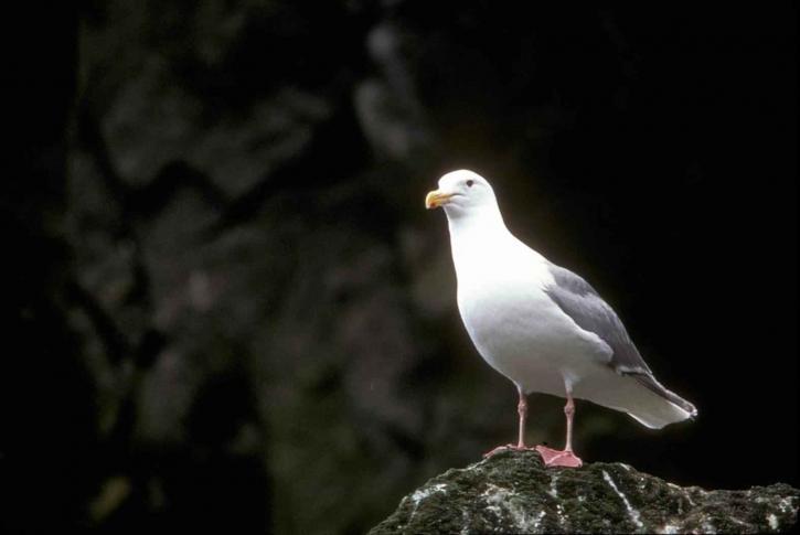 larus, glaucescens, mouette, oiseau