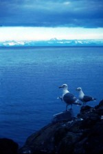 two, glacous, winged, gulls, shore