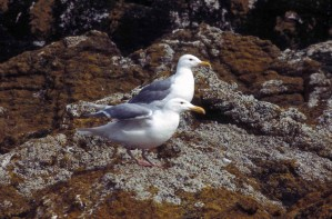 two, glaucous, winged, gulls, shoreline, rocks