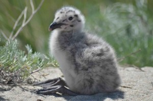 great, black, backed, gull, chick, grass
