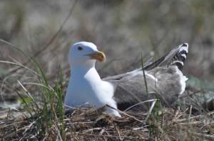 Grande nero backed gull