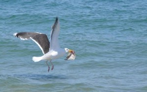 great, black, backed, gull, flounder, larus marinus