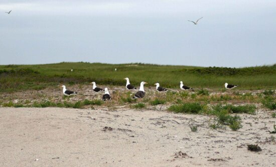 great, black, backed, gulls, beach