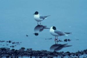 gull, standing, water, reflection, larus philadelphia