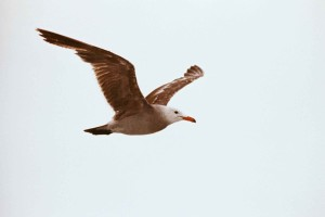 Heerman, mouette, oiseau, vol, larus heermanni