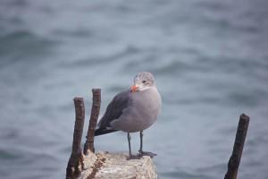 heerman, gull, bird, larus heermanni