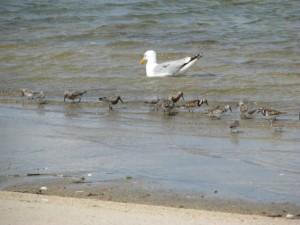Racek stříbřitý, mořští ptáci, voda, larus argentatus