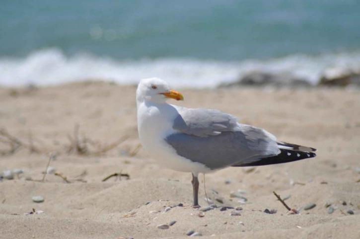 herring gull, beach, larus argentatus
