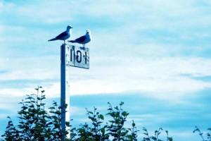 herring gulls, birds, stands, sign, larus argentatus