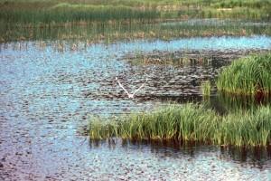 larus, canus, mouette, voler, nagé, l'eau