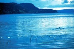 larus, philadelphie, bonaparte, mouettes, lac