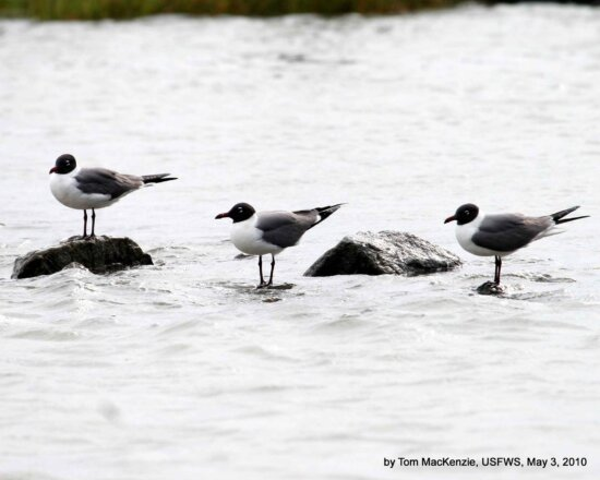 laughing, gulls, rest, rocks, shallow water