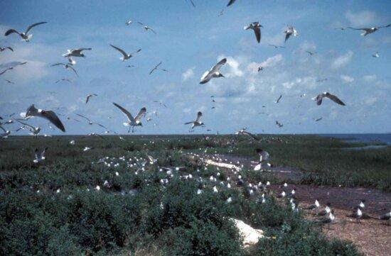 laughting, gull, birds, roockery, larus atricilla