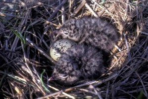 laughting, gull, chicks, nest, larus atricilla